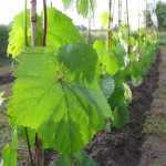 Winnica Folwark Stara Winiarnia - IMG_0530