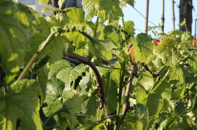 wiosna w Winnicy Kasztelańskiej Folwark Stara Winiarnia