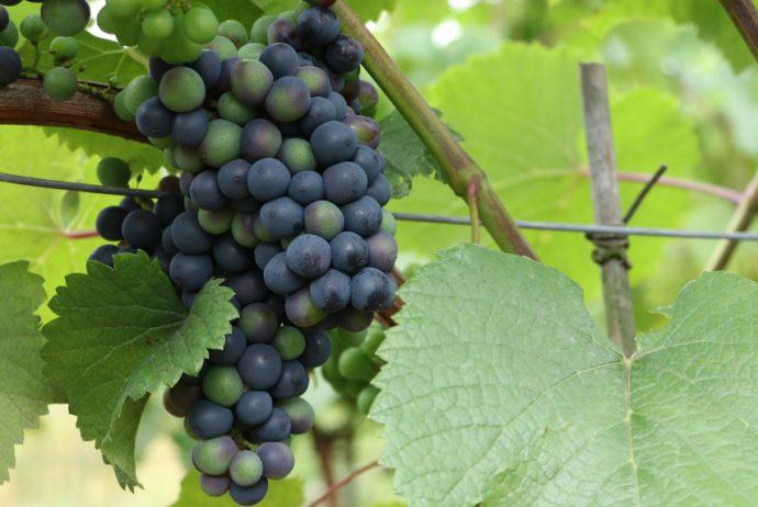 Winnica Kszatelańska wybarwianie się winogron Folwark Stara Winiarnia lubimywino.pl
