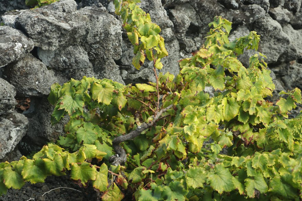 Winnice na wyspie PICO Azory Folwark Stara Winiarnia lubimywino.pl