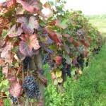 Burgundia - lubimywino.pl