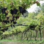 Winnice nad jeziorem Garda region Trentino