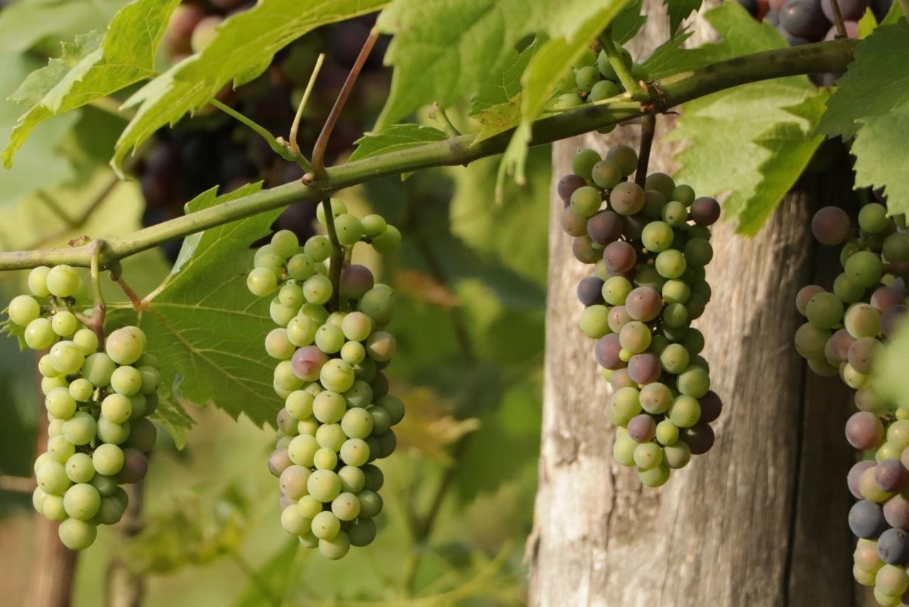 Wybarwianie winogron Winnica Kasztelańska Folwark Stara Winiarnia
