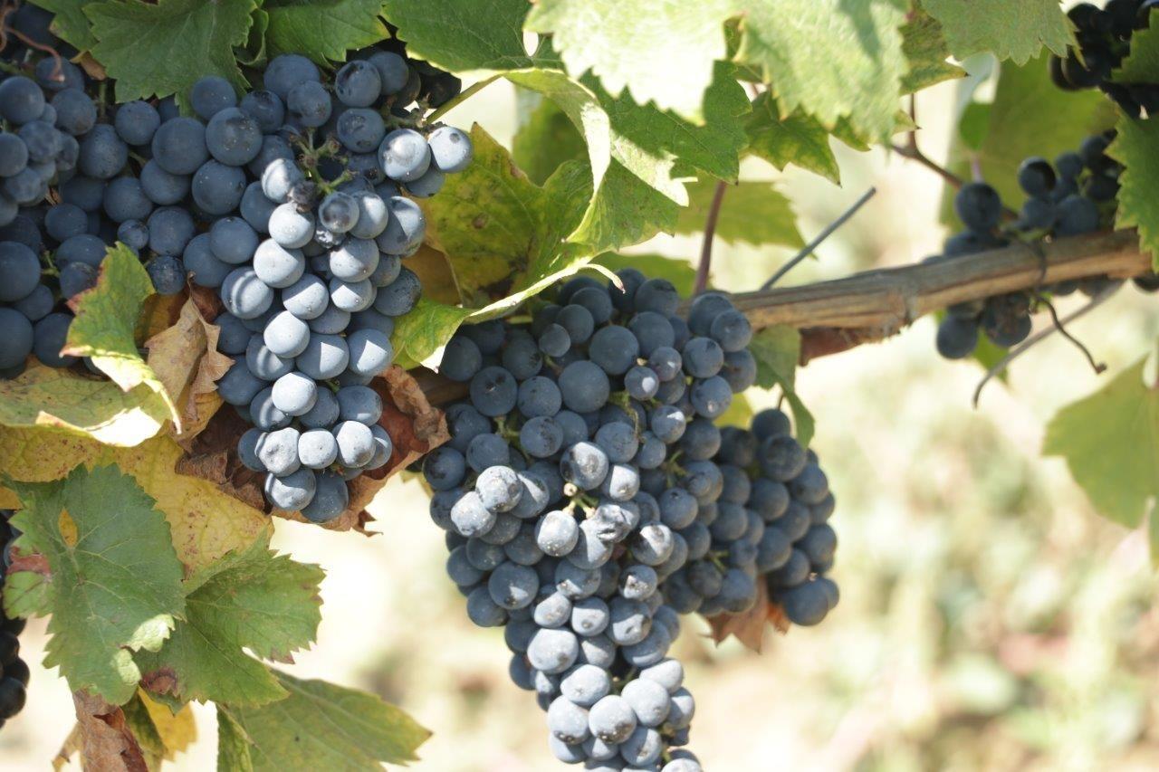 Winnica na Leśnej Polanie - Klub Wina na Lubuskim szlaku wina i miodu