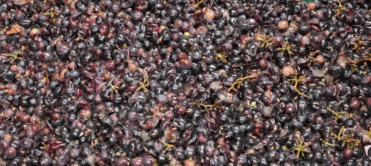 Zbiory winogron Winnica Folwark Stara Winiarnia