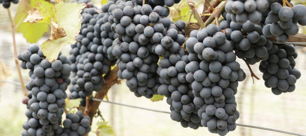 Zbiory winogron Winnica Kasztelańska Folwark Stara Winiarnia